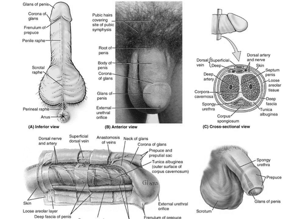 diagrama structurii penisului Penisul lui Dillinger